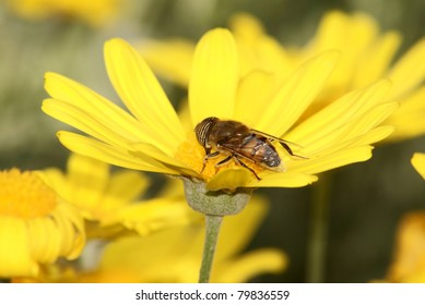 Hover Fly on flower.