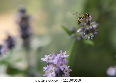 Hover Fly on Lavender