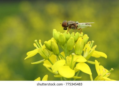 Hover fly on a mustard flower