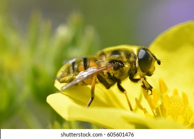 A hover fly on a yellow flower