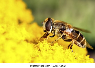 Hover fly pollinating yellow flowers