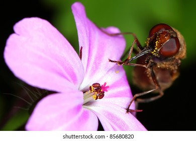 Hover fly sipping nectar from a flower