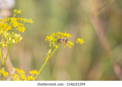 A hover fly sits on the green-yellow umbels of a parsnip