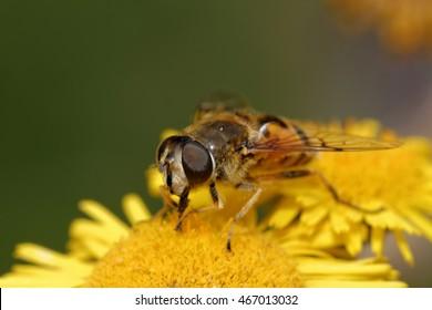 Hoverflies, Diptera