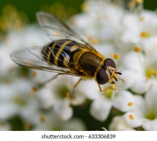 Hoverflies, sometimes called flower flies, or syrphid flies, make up the insect family Syrphidae