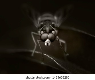 Hoverflies Syrphus macro. Black and white Yellow.
