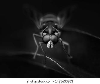 Hoverflies Syrphus macro. Black and white.