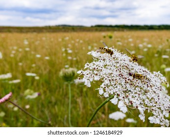 Hoverflies taking a break from their work to rest and explore the head of a Wild Carrot