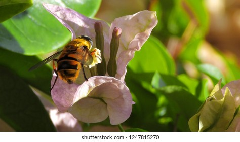 Hoverfly collecting nectar from beautiful flower Bougainvillea. Close-up, macro, copy space.