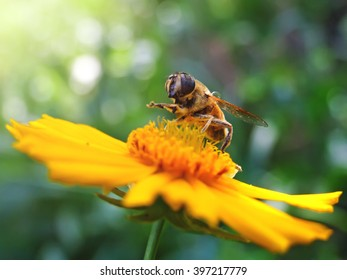 Hoverfly collecting pollen on flower.