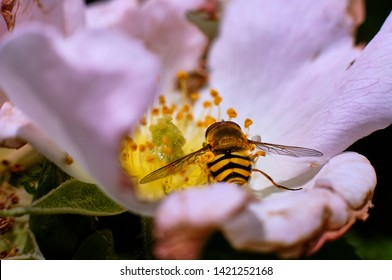 Hoverfly eating nectar of a flower