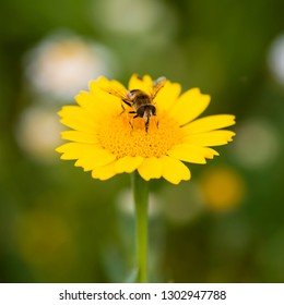 A hoverfly feeding on a corn marigold flower.
