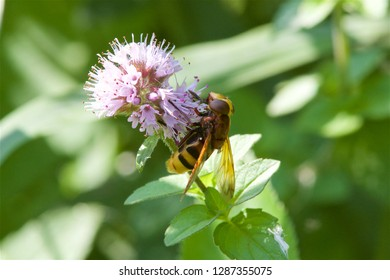 A Hoverfly feeding on a flower