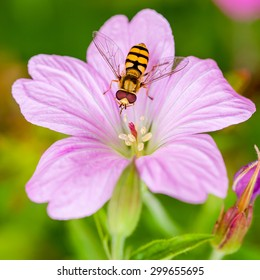 A Hoverfly feeding on a pink flower