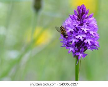 Hoverfly feeding on pyramidal orchid