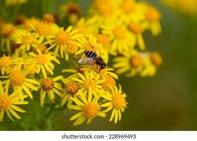 Hoverfly feeding on yellow wildflowers.
