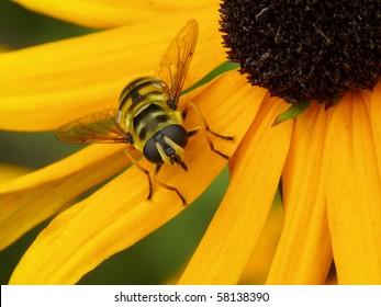 Hoverfly (Female, Myathropa florea)