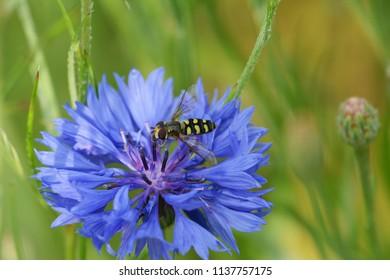 Hoverfly lands on a blue cornflower bloom in a garden