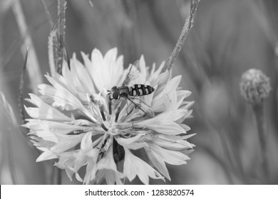Hoverfly lands on a cornflower bloom in a garden - monochrome processing