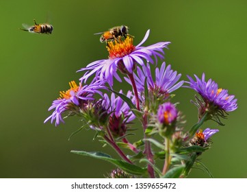 A hoverfly lands on a purple aster; another hoverfly is in mid-flight.  Green background.