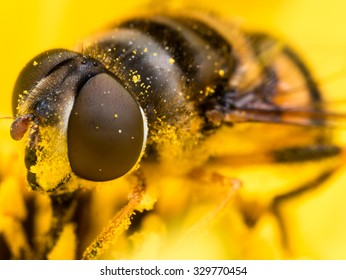 Hoverfly with large red complex eyes is covered in bright yellow pollen