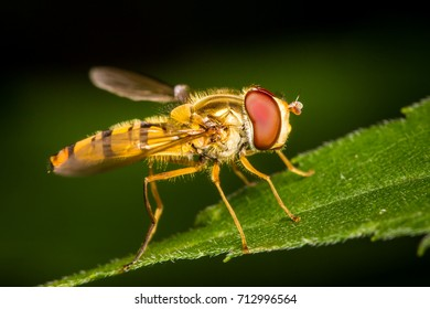 Hoverfly macro close up insects