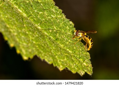 hoverfly in a macro on a leaf
