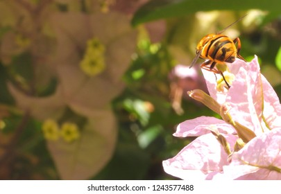 Hoverfly on a beautiful flower Bougainvillea Glabra or paperflower. Close-up, macro with copy space.
