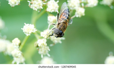 Hoverfly on a cluster of white flowers in Cotacachi, Ecuador