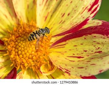 Hoverfly on a dahlia blossom