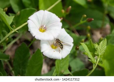 Hoverfly on Field Bindweed Flowers in Springtime