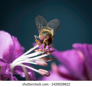 Hoverfly on a Fireweed Flower Macro