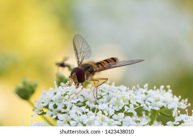 A hoverfly on a flower