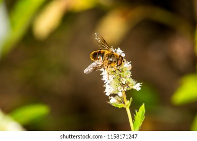 hover-fly on a flower of a peppermint