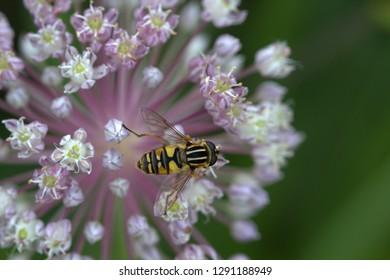 Hoverfly on garlic flower.