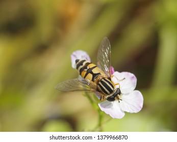 Hoverfly on oilseed radish. Macro Photography, selective focus.