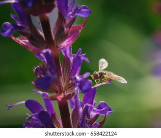 Hoverfly on Salvia Flower