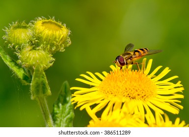 Hoverfly on a summers day. Selective focus on the insect.
