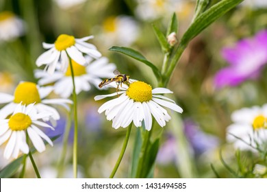 Hoverfly on a white daisy