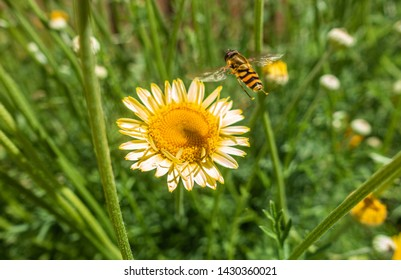 A hoverfly on a yellow anthemis flowerin a garden.