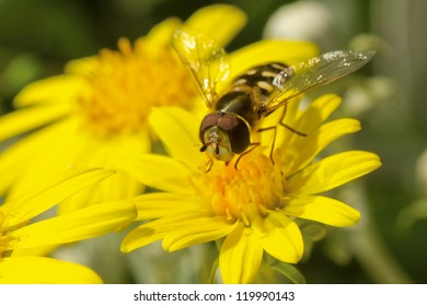 Hover-fly on a yellow flower.