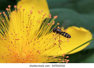 A hoverfly on a yellow flower. A float fly on a flower