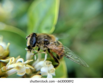 hoverfly pollinating flowers