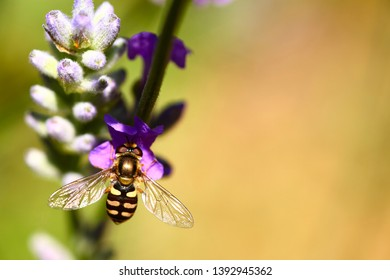 hoverfly pollinating lavender lavandula flowers on a warm summers day with space for copy