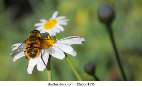 Hoverfly resting on a beautiful flower of white Chamomile or Camomile. Close up, macro, natural background, copy space.