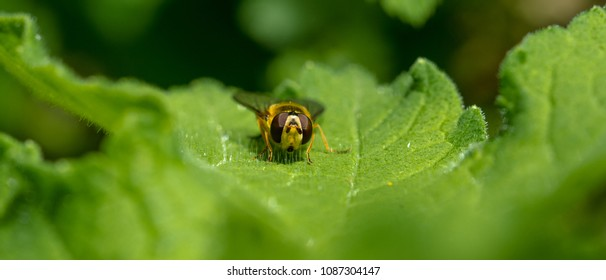 Hoverfly resting on a leaf