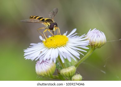 Hoverfly sits on daisy