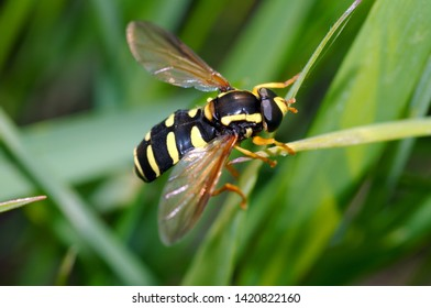 Hoverfly (Spilomyia diophthalma) on green grass