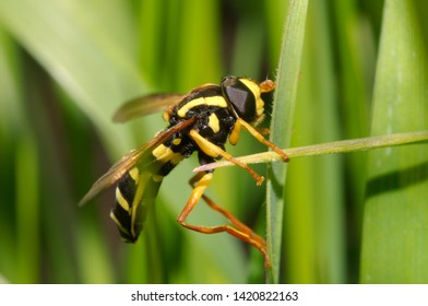Hoverfly (Spilomyia diophthalma) on green grass background