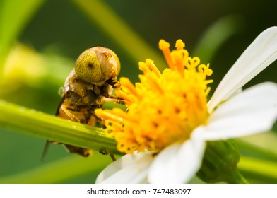 hoverfly sucking nectar on flower